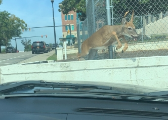The Richmond Observer - OH DEER: The Deputy Richmond County discovered deer in downtown Rockingham